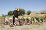 ۴/۵ میلیون تن محصول کشاورزی جنوب کرمان معطل کامیون