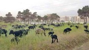 چرای گوسفنداندر جنگل سرخهحصار!