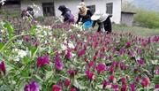 ممنوعیت برداشت گیاهان دارویی از مراتع استان مرکزی