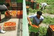 کاهش تولید و افزایش قیمت گوجه فرنگی در آذربایجان غربی