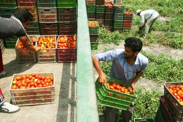 حمل گوجه فرنگی