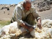 خرید توافقی پشم دام عشایر خراسان جنوبی | هرکیلو پشم سفید ۱۰ هزار تومان