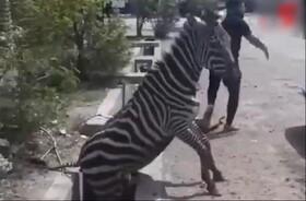 سازمان محیط زیست: مجوز گورخرهای آفریقایی قانونی بود | منتظر اعلام علت مرگ گورخر هستیم