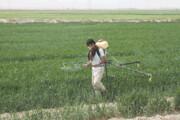 زمینهای کشاورزی آفتزده ری سمپاشی میشود