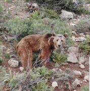 بازگشت خرس قهوهای کرمانشاه به طبیعت