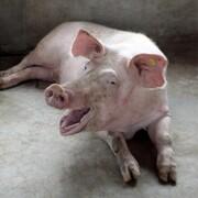 خوکها میتوانند در شرایط اضطراری از راه مقعد تنفس کنند!