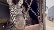 گورخر تلفشده در باغوحش صفادشت آبستن نبود | واردات گونه جدید به تهران فعلا ممنوع