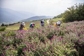 غفلت از اقتصاد گیاهان دارویی در آذربایجان شرقی