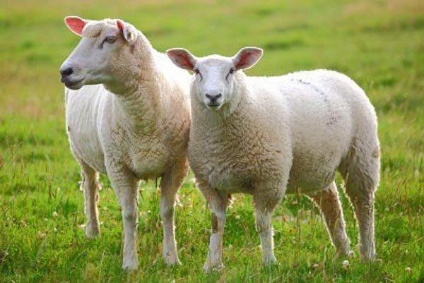 گوسفند فرانسوی