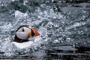 عکس روز| طوطی دریایی