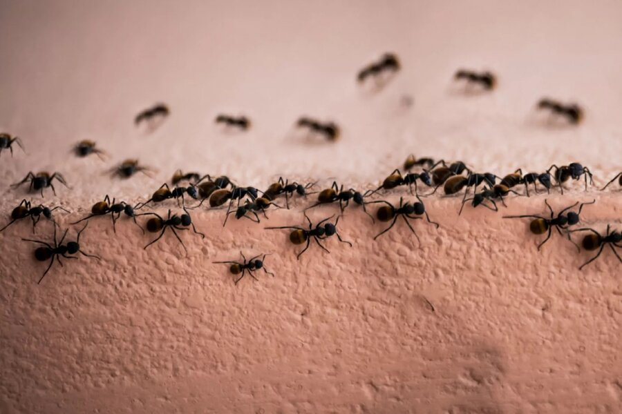 مورچه - Ants in the house