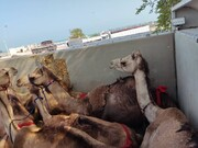 معطلی شترهای قطری در گمرک ایران!