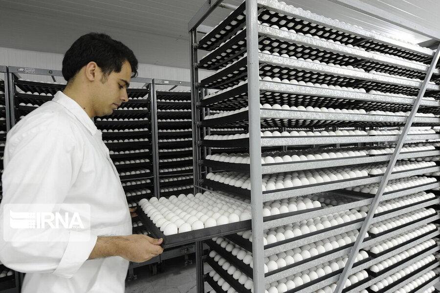 زیان ۴ هزارتومانی مرغداران در تولید هر کیلو تخممرغ | ارائه ۲ راهکار برای جلوگیری از زیان تولیدکنندگان