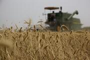 کاهش تولید گندم در آذربایجان غربی