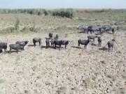 ویدئو | پای شرکتهای نفتی چین در پرونده خشکشدن هورالعظیم خوزستان