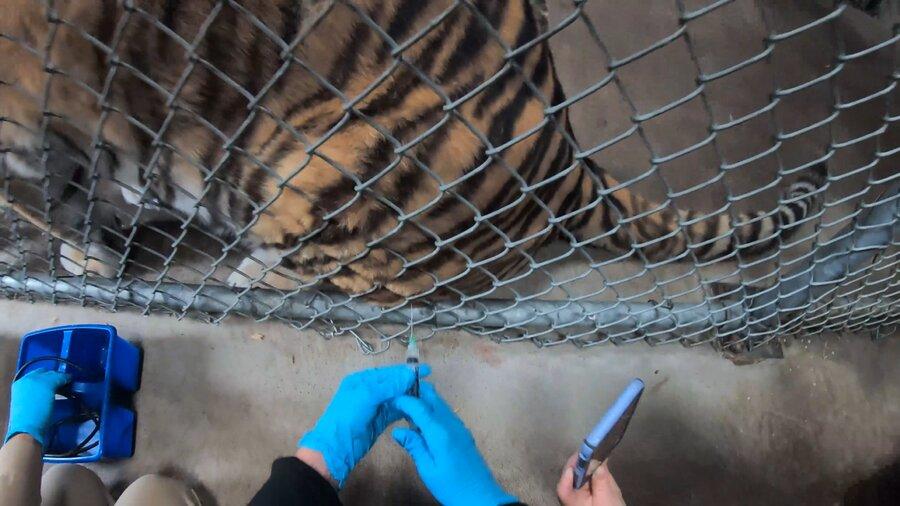 عکس | آغاز واکسیناسیون حیوانات باغوحش در برابر کرونا