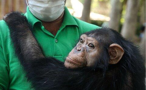 آخرین وضعیت شامپانزه ایرانی در کنیا | باغوحش کنیا دنبال مادرخوانده برای باران