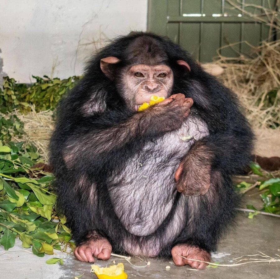آخرین وضعیت شامپانزه ۴ساله ایرانی در کنیا   باغوحش کنیا دنبال یک مادرخوانده برای باران