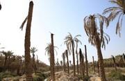 تلف شدن ۷۵۰۰ نخل در خوزستان به دلیل بیآبی | شوری آبی که به نخلستانها میرسد
