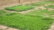 ایجاد ۱۲۵۵ باغچه خانگی توسط زنان در آذربایجان غربی