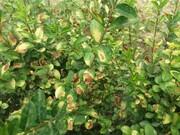 تِروِن، گیاه حساس از منظر تنشهای فیزیولوژیک
