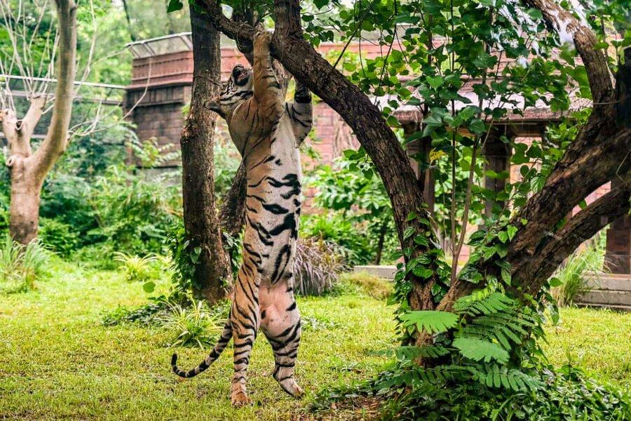 عکس روز | ببر بنگال