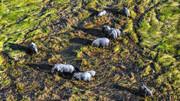 راهکار چینیها برای هدایت فیلهای وحشی گمشده
