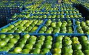 چیدن نارنگی سبز متوقف شد   آخرین وضعیت عرضه هویج