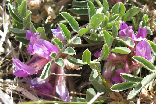 خواص بینظیر گون ؛ گیاهی ضد ویروس و تقویتکننده حافظه
