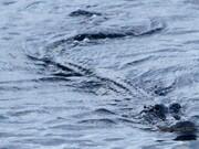 بقایای یک مرد گمشده در معده یک تمساح پیدا شد
