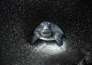 عکس روز| لاکپشت سبز و ماهیهای شیشهای