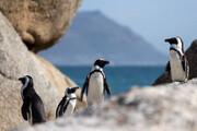 حمله زنبورهای آفریقایی به ۶۳ پنگوئن در حال انقراض