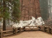 پتوی آلمینیومی بزرگترین درخت جهان را در برابر آتش محافظت میکند