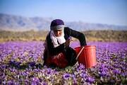 زعفران؛ منبع جدید درآمد در لرستان