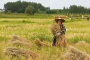 التهاب در بازار برنج شمال