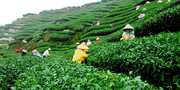 ایران طلب نفتی خود را از سریلانکا با چای صاف میکند