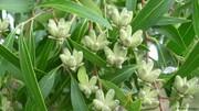 ببینید | درختی در هیمالیا که میوه آن صابون است