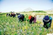 برنج، فارس را میخشکاند