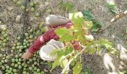 باغهای گردوی دلیرچ در آستانه نابودی