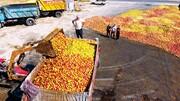 سیب آذربایجان غربی چوب حراج میخورد
