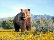 خطر انقراض در کمین خرس لرستان