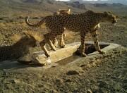 جدیدترین تصاویر از یوزپلنگ مادر و تولههایش در پارک ملی توران