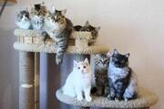 عکس روز| گربههای سیبریایی