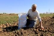 سیبزمینی، مزیتی برای کشاورزی کردستان
