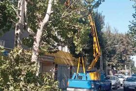 چالش هرس درختان ۱۰۰ ساله
